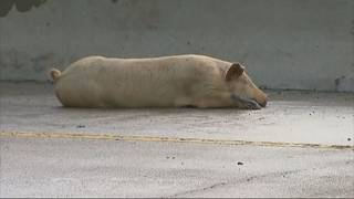 Texas highway closed due to pigs on the loose