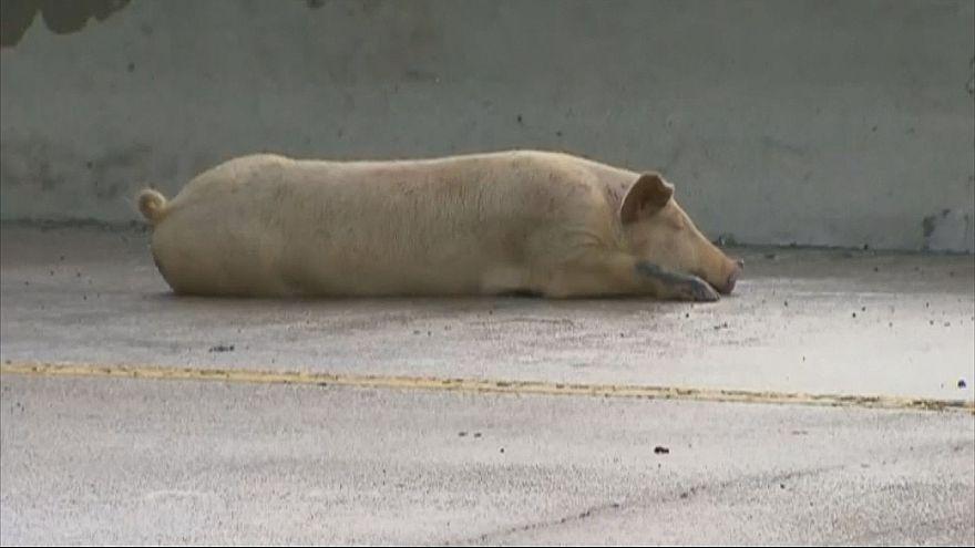 Авария в Далласе: свиньи на свободе