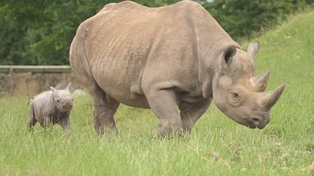 Watch: Rare baby rhinos take their first steps in UK
