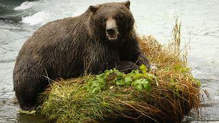 Túlságosan elszaporodtak a medvék Erdélyben