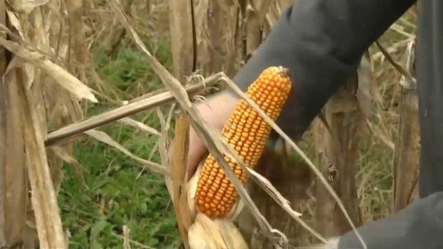 Las lluvias han retrasado la cosecha del maíz en Argentina
