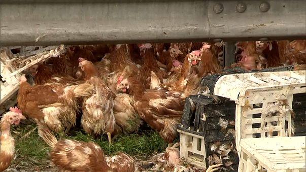 Freilaufende Hühner sorgen für Chaos auf Autobahn