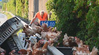 Transporter verliert Hühner auf der Autobahn