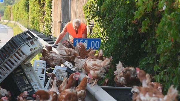 Chickens close Austrian motorway