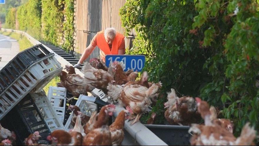 الدجاج يعرقل السير في طرقات النمسا