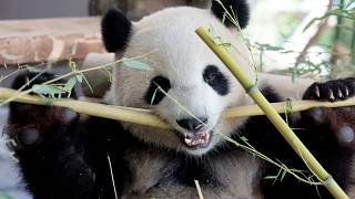 Panda-Diplomatie in Berlin