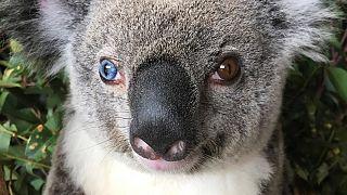 Gözleri Van Kedisi gibi olan koala 'Bowie'