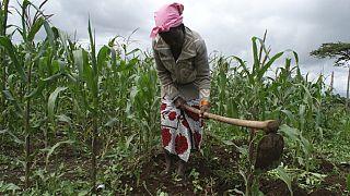 De nouvelles cultures pour combattre la sécheresse
