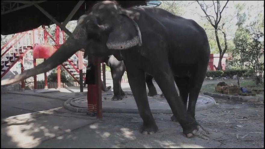 Thaïlande, les éléphants promeneurs de touristes en danger