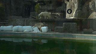 Budapeşte'deki kutup ayıları buz kütleleriyle oynadı