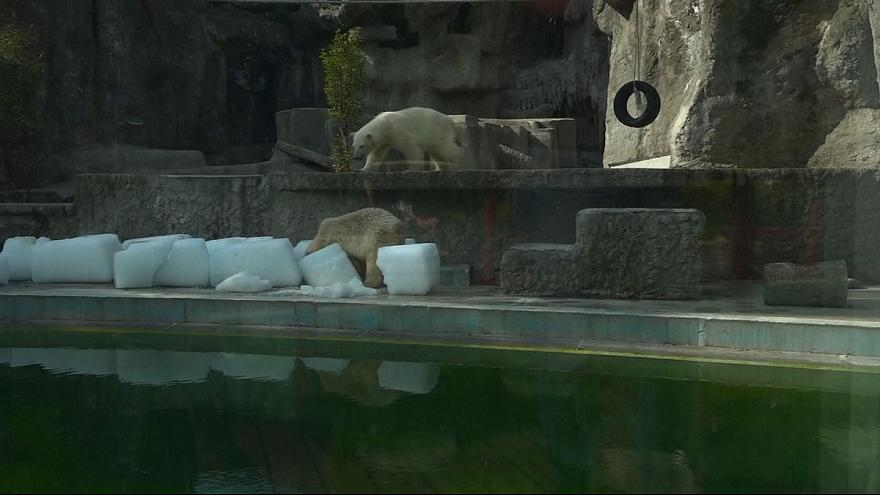 Chaleur : des cubes de glace pour les ours de Budapest