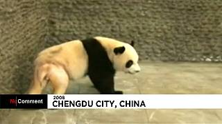 Shaved panda video turns Yuan Xiao into a celebrity