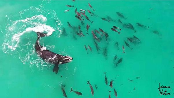 Delfinekkel játszó bálna