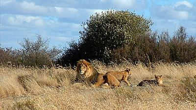 Four lions on the loose from South Africa's Kruger park