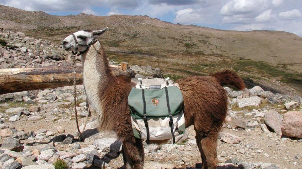 Ende einer Ära: Israelische Armee ersetzt Lamas durch Roboter