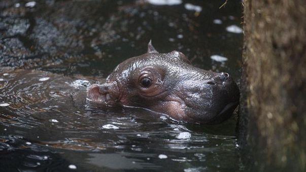 Kopenhagen: Hippo-Geburt überrascht Tierpfleger