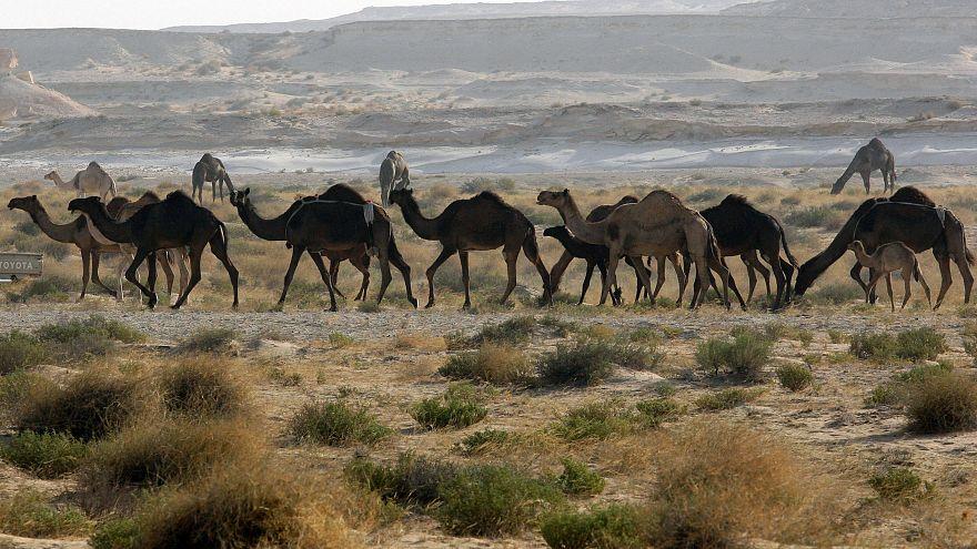 الإبل ضحية النزاع القطري السعودي