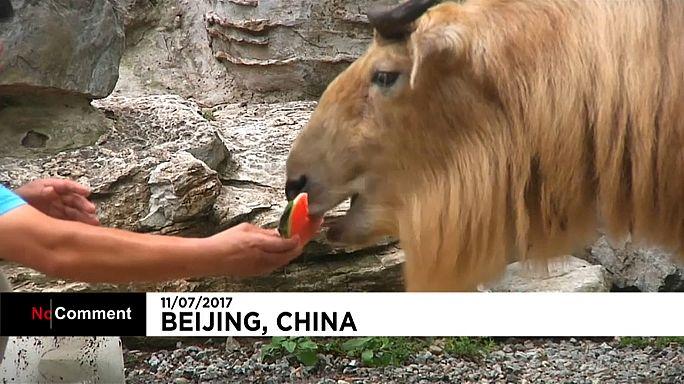 البطيخ للتخفيف من القيظ في حديقة حيوانات بكين
