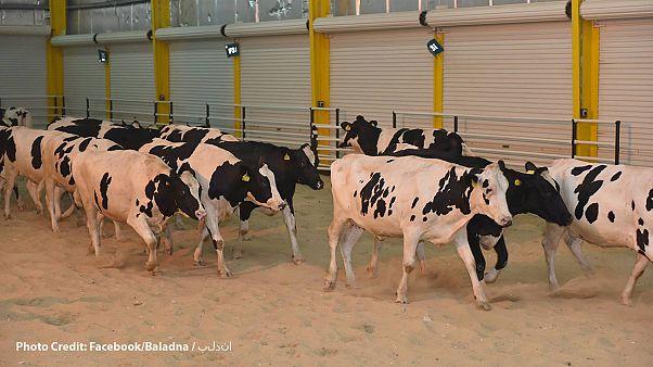 Αγελάδες από την Ουγγαρία προσγειώθηκαν στο Κατάρ για να φέρουν γάλα!