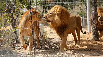 Missing South African lions still at large, helicopters join search