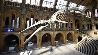 Time-lapse video shows whale skeleton become museum's centrepiece