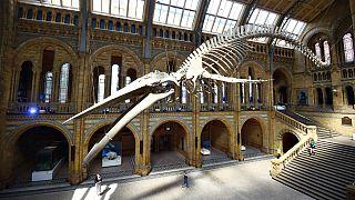 Uno scheletro di balena al Museo Nazionale di Storia Naturale di Londra