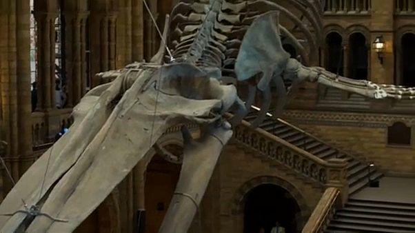 """""""Hope"""" la baleine bleue au Musée d'histoire naturelle de Londres"""