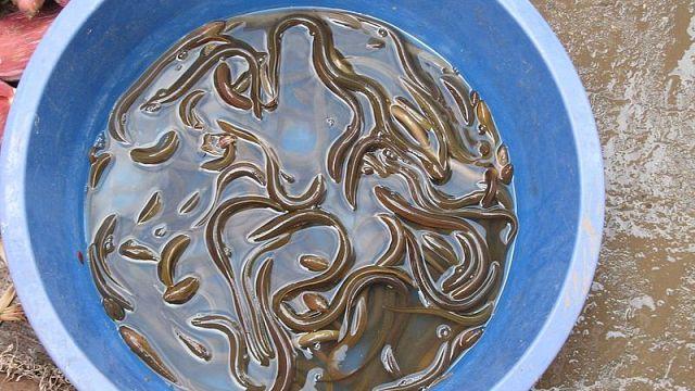 Sind die Aale im Rhein zu retten? 50.000 Jungtiere ausgewildert