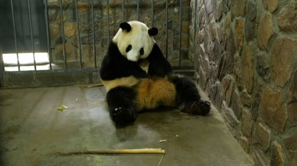شاهد.. مولود جديد في عائلة الباندا الرياضية