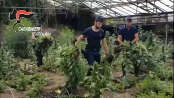 Ipari mennyiségű marihuána egy rejtekhelyen