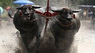 Tailandeses mantêm corridas de búfalos com arados