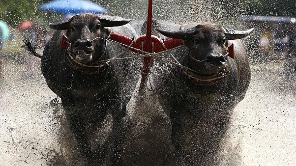 Büffelrennen in Thailand