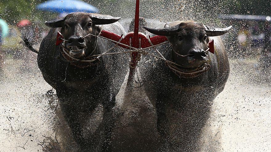 Таиланд: гонка буйволов