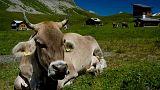 Kuhattacke in Kärnten: Tourist mit Hund bringt 50 Kühe in Rage