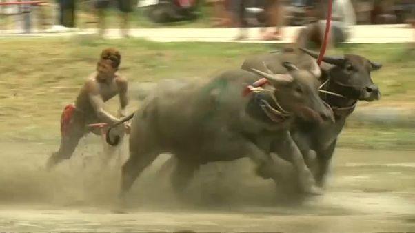 شاهد: سباق الجاموس في تايلاند