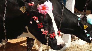 Тёлки на подиуме: как выглядят настоящие коровы