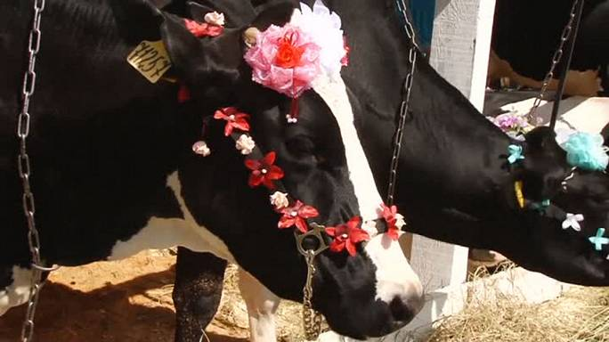 Udder madness? Russia holds a beauty contest ... for cows