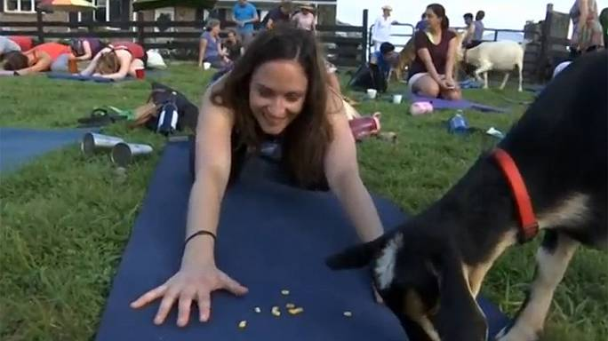 Yeni trend keçi yogası