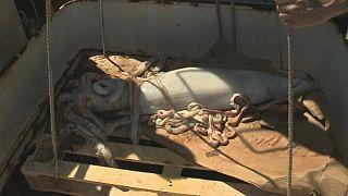 El extraño vínculo entre los Flannery y los calamares gigantes