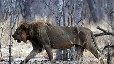 Zimbabwe: un lion dévore une fille de 10 ans