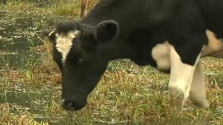 135 Rinder getötet: Kolumbien sagt Schmuggelvieh aus Venezuela den Kampf an