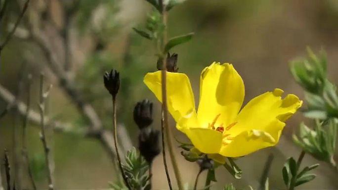 El desierto de Atacama se cubre de flores