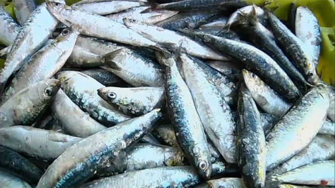 Sardinhas em stocks mínimos alarmam pescadores