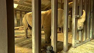 IVF hopes for northern white rhino