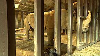 عملية تلقيح اصطناعية لإنقاذ وحيد القرن الأبيض من الانقراض