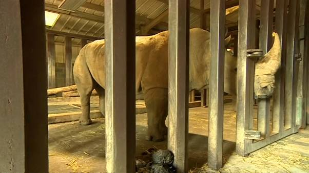 Οι νότιοι σώζουν μέσω γονιμοποίησης τους βόρειους λευκούς ρινόκερους