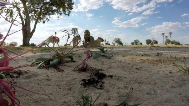 Zimbabwe: ucciso Xanda, figlio del leone Cecil