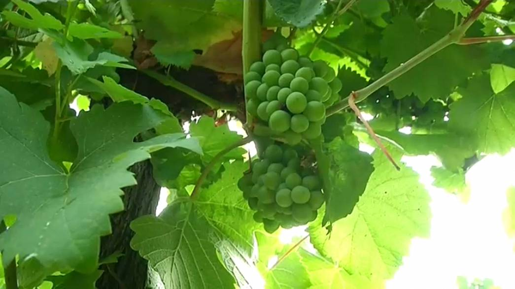 Падение производства вина из-за проблем с урожаем