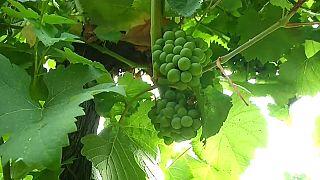 Fransa'da şarap üretimi iklim şartlarının tehdidi altında