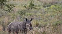 South Africa rhino poaching falls from record high